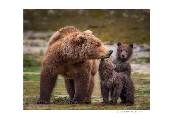 Coastal Brown Bear With Her Two Cubs   Signed 2010 Photography Art | Carol Brooks Parker Fine Art Photography