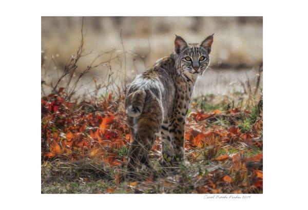 The Bobcat   Signed 2014 Photography Art | Carol Brooks Parker Fine Art Photography