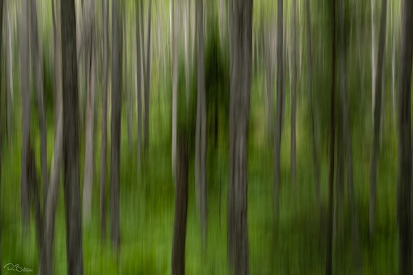 Abstract blur of birch trees.