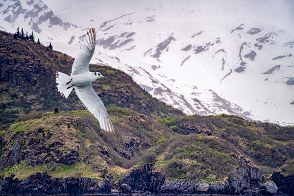 Kittiwake In An Alaskan Landscape Composite 2 Photography Art | Carol Brooks Parker Fine Art Photography