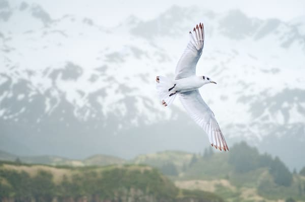 Kittiwake In An Alaskan Landscape Composite 1 Photography Art | Carol Brooks Parker Fine Art Photography