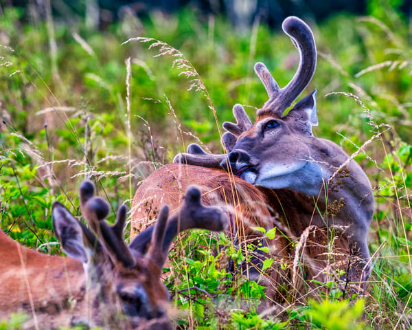 Whitetail Buck Scratching that Itch
