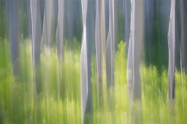 Abstract photography of aspen trees