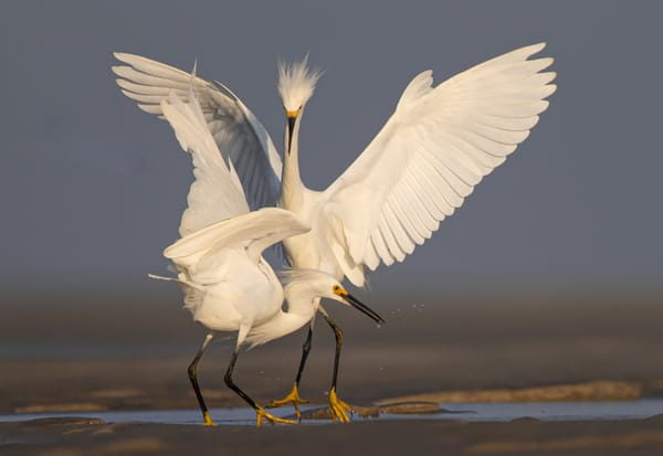 Snowy Egrets Photography Art | Sarah E. Devlin Photography
