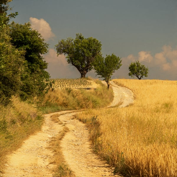 Wheat Fields of Provence