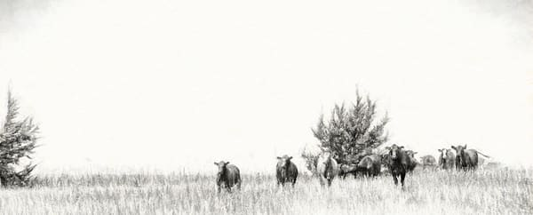 Mama Heifer is in Control, the Grazing in the Pasture in Charcoal Print