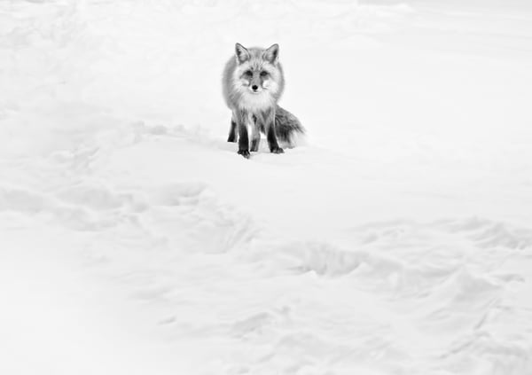 Fox in the Snow in Colorado