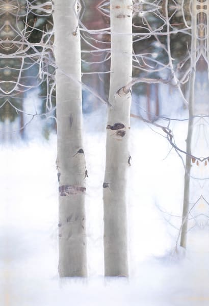 Colorado Aspen in Snow