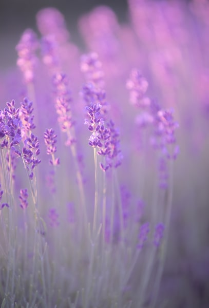 Lavender Breeze