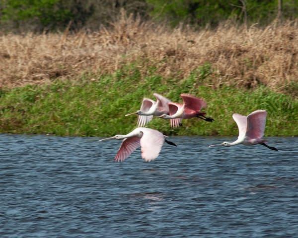 Spoonbills In Flight Photography Art | It's Your World - Enjoy!