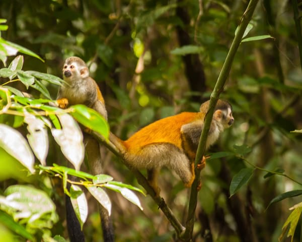 Squirrel Monkeys Photography Art | It's Your World - Enjoy!