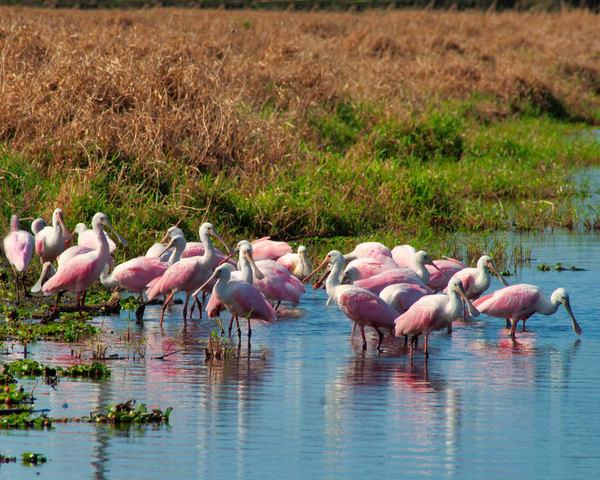 Spoonbill Flock Photography Art | It's Your World - Enjoy!