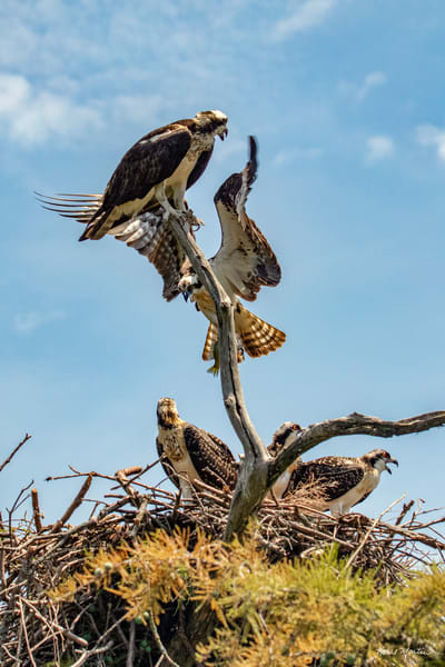 Dinner Time  Osprey Bringing Food To His Nest At Reelfoot Lake  9345 C  Art | Koral Martin Fine Art Photography