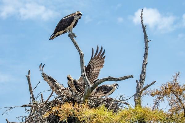 Osprey Feeding Chicks  9346  Art | Koral Martin Fine Art Photography