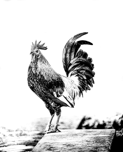 King Rooster Photography Art | Art Sea Love