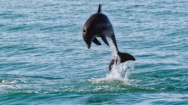 Dolphin Jumping Signed Photography Art | CJ Harding
