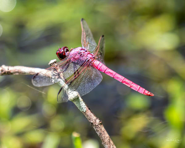The Roseate Skimmer Dragonfly 3