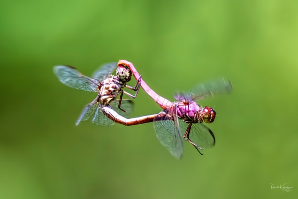 The Mating of the Roseate Skimmers