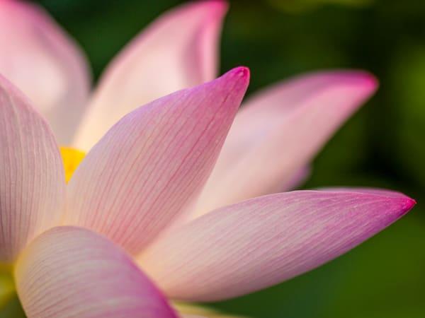 Lotus Unfolding Wall Art