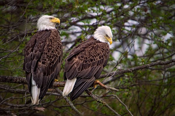 Bald Eagle Pair Photography Art | Carol Brooks Parker Fine Art Photography