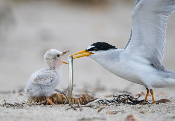 Least Tern Feeding Chick Photography Art | Sarah E. Devlin Photography