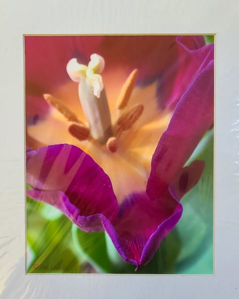 Close Tulip | An Artist's View Photography