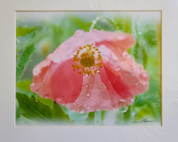 Weeping Cosmos | An Artist's View Photography