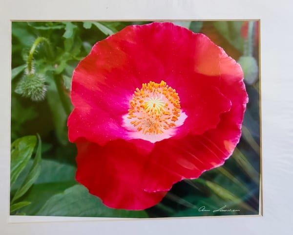 Red Poppy | An Artist's View Photography