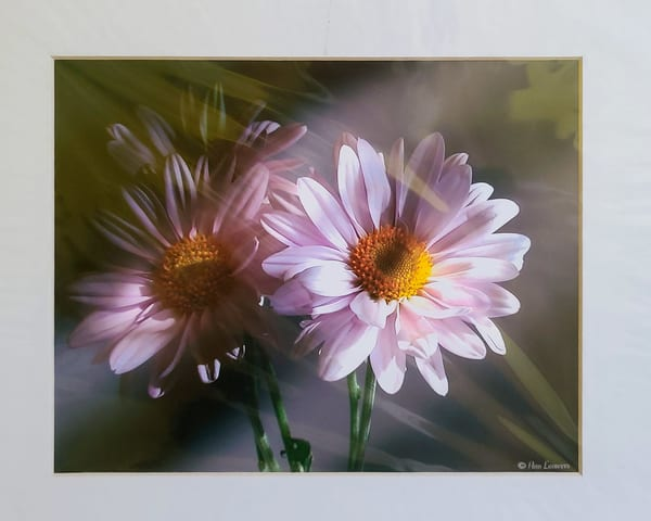 Pink Daisies | An Artist's View Photography