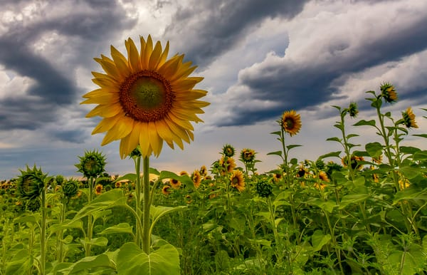 Sunflowers And Clouds Photography Art   Nelson Rudiak Photography