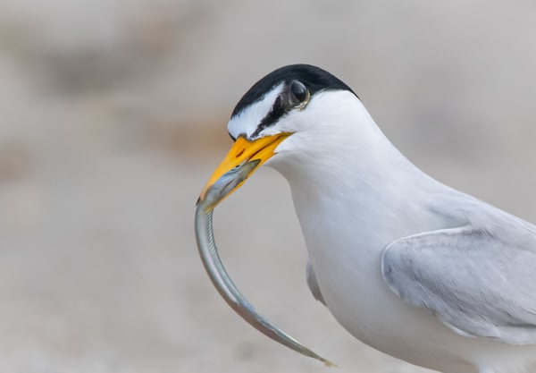 Least Tern With Sand Eel Photography Art | Sarah E. Devlin Photography