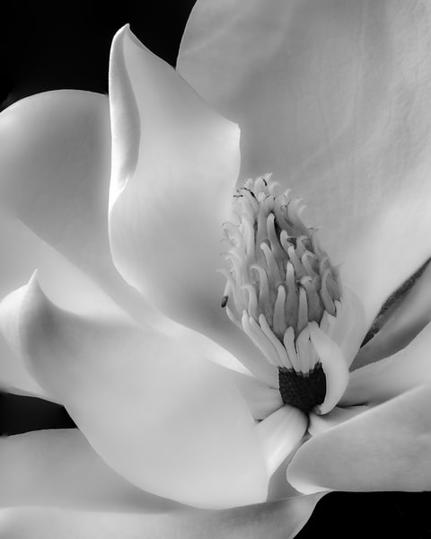 Magnolia Flower Close-up