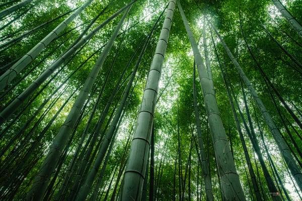 Bamboo Forest Photography Art   Matej Silecky