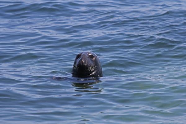 Cape Cod Seal  Photography Art   Nelson Rudiak Photography