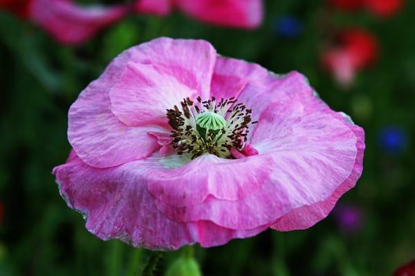 Poppy Photography Art   Nelson Rudiak Photography