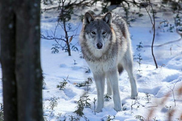 Wolf In Winter Photography Art   Nelson Rudiak Photography