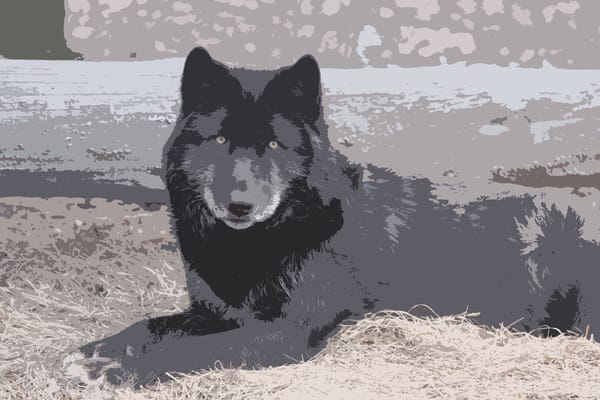 Wolf Posterization Photography Art   Nelson Rudiak Photography