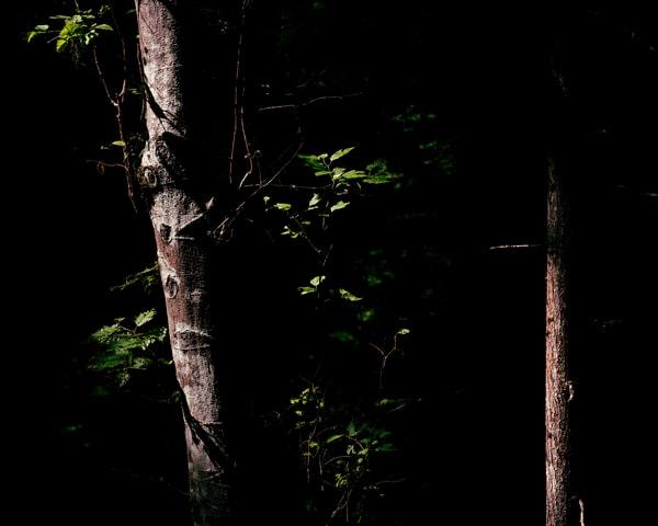 Alders in the Darkness, Washington, 2019