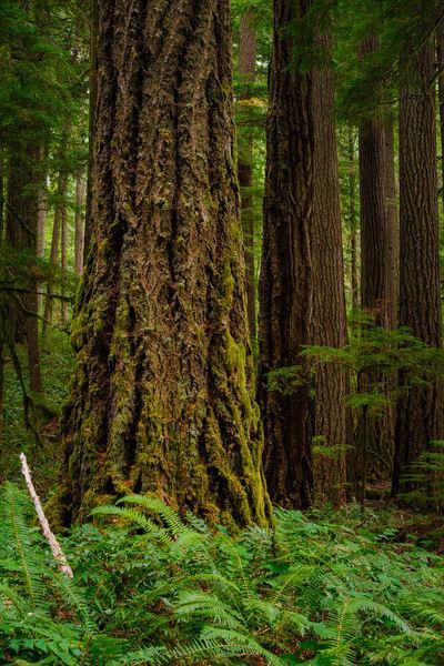 Forest Along Kraus Ridge, Randle, Washington, 2016