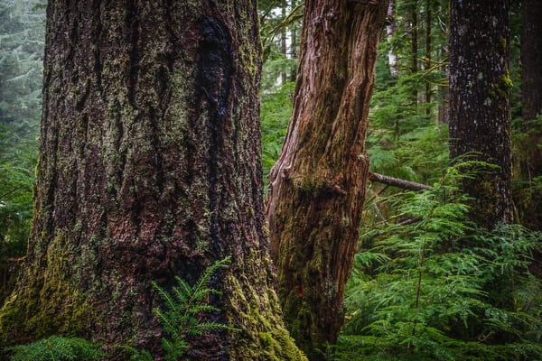 Forest at Camp Creek, Olympic National Forest, Washington, 2016