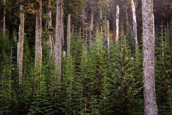 Forest Along FR1914, Kittitas County, Washington, 2016