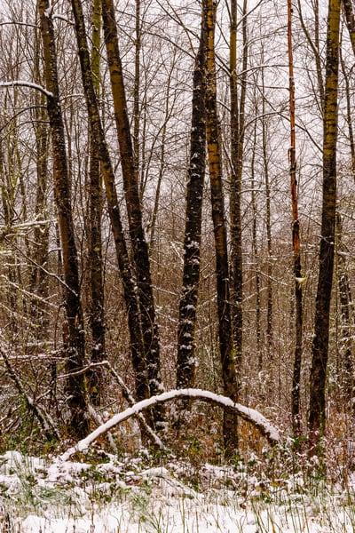 Late Autumn Snowfall No. 5, Rasar State Park, Washington, 2016