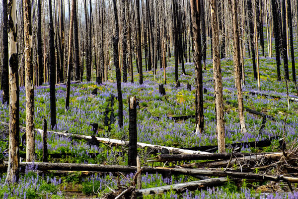 Lupine in a Burned Out Forest, Washington, 2009