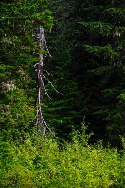 Old Snag, Gifford Pinchot National Forest, Washington, 2016