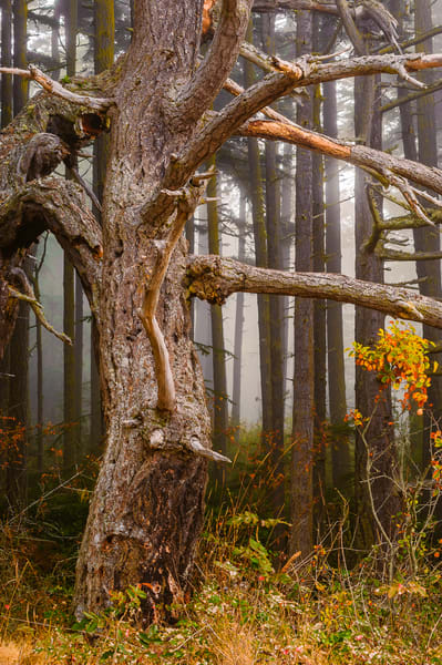 Old Snag in the Forest, Deception Pass State Park, Washington, 2016