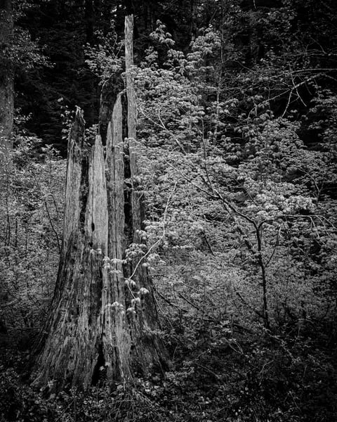 Old Growth Stump, Gifford Pinchot National Forest, Washington, 2019