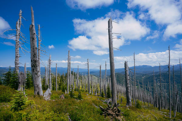 Ghostly Forest, Washington, 2020