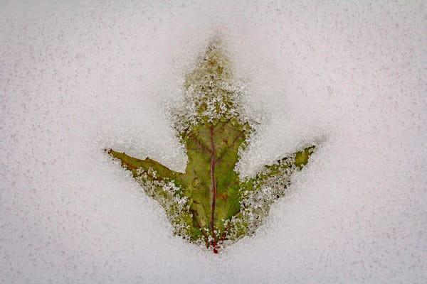 Leaf In Snow  Photography Art   Nelson Rudiak Photography