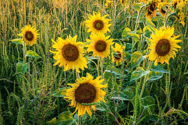 Field Of Gold Photography Art | Nelson Rudiak Photography