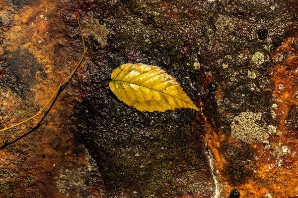 Wet Leaf Photography Art   Nelson Rudiak Photography